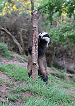 A curious badger appears to be grinning as he looks out from behind a tree.  The animal seems reluctant to come out from its hiding place to look for food.<br /> <br /> The nocturnal creatures are a rare sight in the daytime, usually opting to stay in their underground networks of tunnels, called sets, until nightfall.  These photos were captured by amateur wildlife photographer Peter Lewis in Crimond, in Aberdeenshire, Scotland.  SEE OUR COPY FOR DETAILS.<br /> <br /> Please byline: Peter Lewis/Solent News<br /> <br /> © Peter Lewis/Solent News & Photo Agency<br /> UK +44 (0) 2380 458800