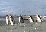 Royal penguins, Macquarie Island, Australia