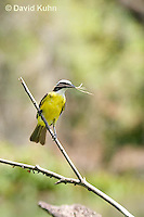 0701-1107  Social Flycatcher Collecting Twigs for Building Nest (Vermilion-crowned Flycatcher), Belize River in Belize, Myiozetetes similis  © David Kuhn/Dwight Kuhn Photography