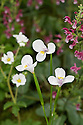 Diplarrhena moraea, mid May. Common names inlcude Butterfly flag and White flag iris.