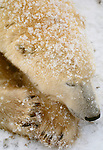 Polar bear sleeping, Churchill, Manitoba, Canada