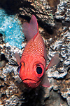 Bigscale soldierfish swimming towards camera, vertical.