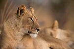 African Lion (Panthera leo) four year old female, Kafue National Park, Zambia