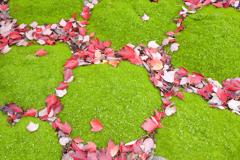 Green ground cover and fall colored Scarlet Maple leaves (Acer rubrum). Hughes Water Gardens, Oregon