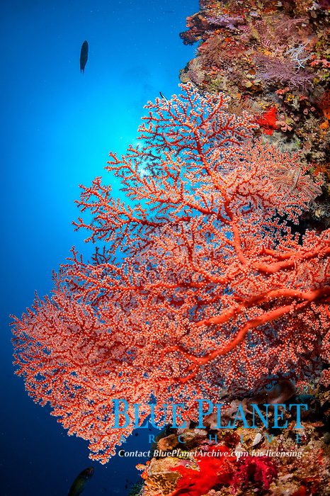 coral reef scene with colorful soft corals in Malé, Maldives, Indian Ocean