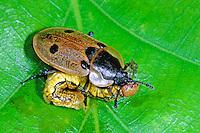 Vierpunktiger Aaskäfer, mit erbeuteter Raupe, Vierpunkt-Aaskäfer, Vierpunktiger Raupenjäger, Dendroxena quadrimaculata, Xylodrepa quadripunctata, carrion beetle, Burying Beetle