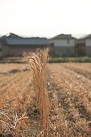 Kagawa wheat growing before the rice crop on the outskirts of Takamatsu city.