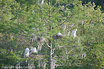 Egret rookery in The Audubon Swamp Garden at Magnolia Plantation, Ashley River Road, Charleston, SC