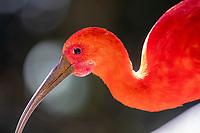 Scarlet Ibis at Tenikwa Wildlife Rehabilitation Centre, Plettenberg Bay, South Africa.