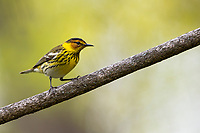 Cape May Warbler (Setophaga tigrina) male in breeding plumage foraging during migration at Doodletown, Bear Mountain State Park, New York.