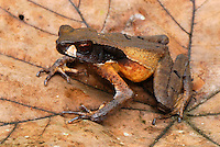 Masked Toad (Bufo haematiticus), adult on leaf, San Cipriano Reserve, Cauca, Colombia, South America