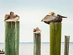 Three pelicans on a fishing dock located in Port Saint Joe, FL.
