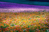 Field of Poppies. Near Silver Falls State Park, Oregon