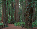 Jedediah Smith Redwoods State Park, CA<br /> Redwoods (Sequoia sempervierns) dominate a trail through the Stout Grove