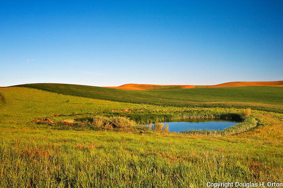A farm pond dots the Palouse, attracting wildllife.
