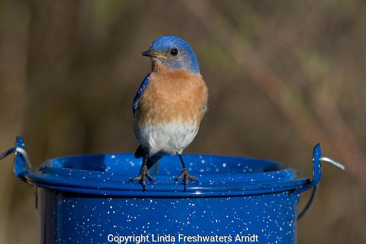 Male eastern bluebird standing on an enamel cooking pot