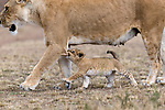 Little lion cub bites mum and later cuddle and make up by Victoria Coombe