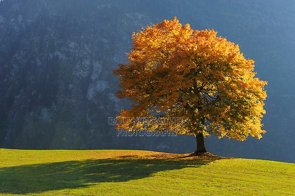 Linden tree (Tilia sp.), tree in autumn, Klausenpass, Switzerland, Europe