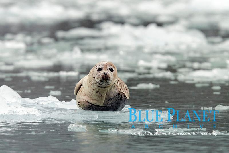 Harbor Seal (Phoca vitulina) on ice near Dawes Glacier in Endicott Arm, Southeast Alaska, USA.