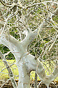 31/05/17<br /> <br /> A tree is cocooned in webs made by hundreds of thousands of ermine moth caterpillars. The bizarre silky phenomena, that looks like spiders' webs is made by the caterpillars to protect them from birds. It has covered a single cherry tree, beside the A6 in  Whatstandwell near Belper in the Derbyshire Dales. <br /> <br /> All Rights Reserved, F Stop Press Ltd +44 (0)7765 242650 www.fstoppress.com rod@fstoppress.com