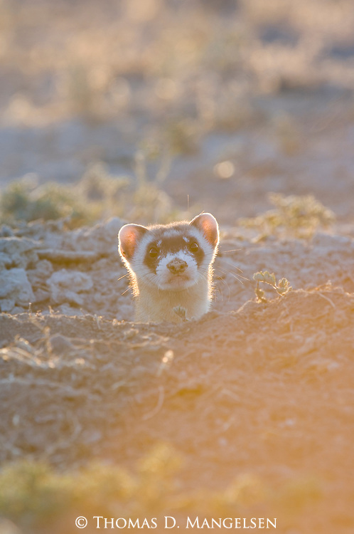 A black-footed ferret sticks its head out of the burrow in Buffalo Gap National Grasslands, South Dakota.