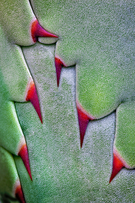 Close up of thorns on agave plant  before opening.