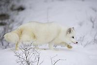 Arctic fox walking on a snowy hill - CA