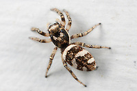 Zebra Jumper (Salticus scenicus) - Female crawling on the side of a house, West Harrison, Westchester County, New York