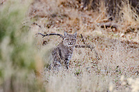 Wild Bobcat (Lynx rufus).  California.  Late Winter.  (Completely wild, non-captive cat.)