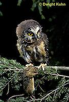 OW03-026z  Saw-whet owl - with mouse prey - Aegolius acadicus