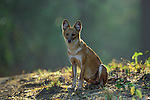 Indian Wild Dog or Dhole (Cuon alpinus) sitting on edge of forest. Kanha National Park, Madhya Pradesh, India.