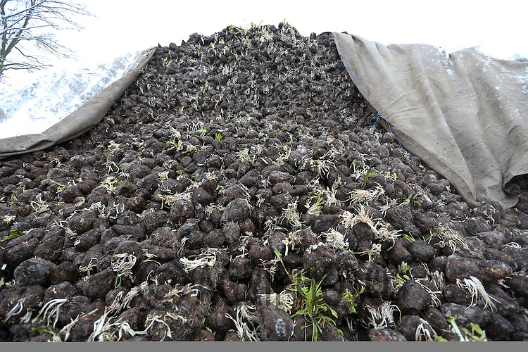 Sugar beet in a heap covered with a sheet to keep snow and frost off..Picture Tim Scrivener date taken 22nd January  2012.mobile 07850 303986 e-mail tim@agriphoto.com.....covering agriculture in the Uk....