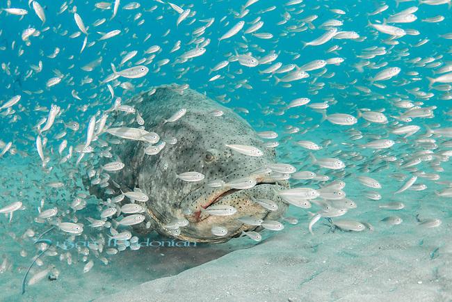 Atlantic goliath grouper, bait fish, endangered species, Epinephelus itajara, Goliath Groupers and bait balls, itajara, IUCN Red List, jewfish, sardines near MG111, Jupiter
