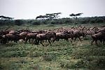 Herds of Burchell's zebra and blue wildebeest travel across the African plain.