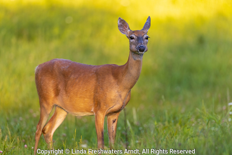 White-tailed doe chewing her cud in a northern Wisconsin meadow.