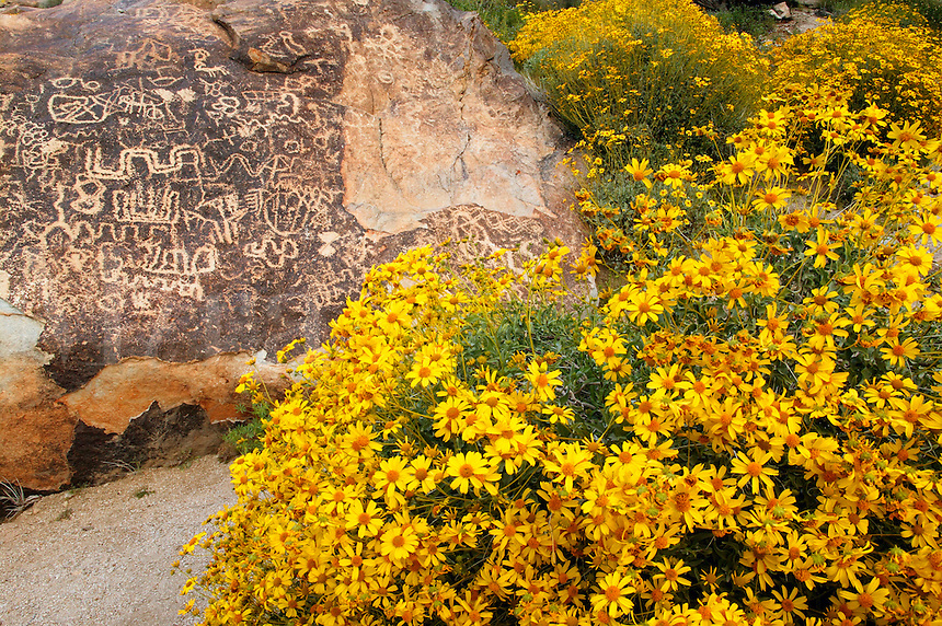 Brittlebush and Petroglyphs in Grapevine Canyon of the Newberry Mountains, along Christmas Tree Pass Road Lake Mead Recreation Area, near Laughlin, Nevada.