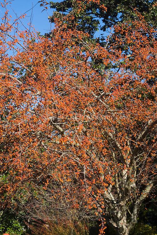 Malus 'Indian Summer' in autumn berries crabapple tree in fruits in autumn . Crab apple