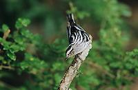Black-and-White Warbler, Mniotilta varia,adult, High Island, Texas, USA, April 2001