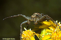 CS08-006z  Elegant Crab Spider waiting for prey on goldenrod - Xysticus elegans