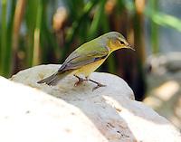 Female Tennessee warbler in breeding plumage