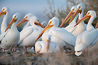 American White Pelican (Pelecanus erythrorhynchos) nesting colony. Lake County, Oregon. April.