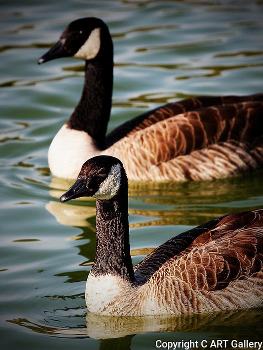 Canada Geese, Mason Park, CA.