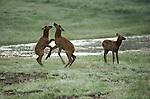 Three elk calves playing.
