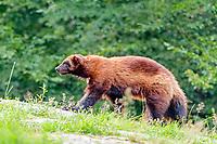 Wolverine (Gulo gulf) walking, Sweden, Europe