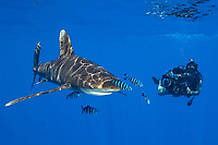 photographer, Norbert Wu, films oceanic whitetip shark with UW HD camera, Carcharhinus longimanus, Big Island, Hawaii, Pacific Ocean ( do )
