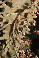 Schultz's Pipefish, Corythoichthys schultzi, Ribbon Reefs, Great Barrier Reef, Queensland, Australia, Coral Sea, South Pacific Ocean