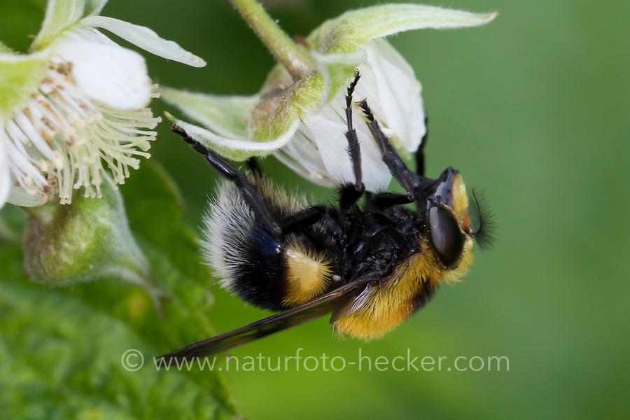 Hummel-Schwebfliege, Hummel-Waldschwebfliege, Pelzige Hummel-Schwebfliege, Hummelschwebfliege, Volucella bombylans, Volucella bombylans var. plumata, Bumblebee mimic hoverfly, Bumblebee-mimicking, la volucelle bourdon