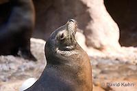 0406-1011  California Sea Lion Sun Bathing on Rock, Zalophus californianus  © David Kuhn/Dwight Kuhn Photography.