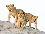 """You're Roarsome!!  Lion cubs show their tender side as they groom and cozy up to their siblings.<br /> <br /> The adorable images were captured by Nina Waffenschmidt when she visited Eastern Serengeti, Tanzania.<br /> <br /> Nina said, """"I spent quite a lot of time with a pride of two male lions, six females and twenty cubs.  These cubs are only a couple of months old.  I loved watching them rest, play, annoy their parents, run around, be affectionate to each other and so many other things!""""<br /> <br /> """"This pride is called the Punda pride as they are usually found in the area around Punda Kopjes (Punda Rocks), in the Eastern Serengeti.""""<br /> <br /> Please byline: Nina Waffenschmidt/Solent News<br /> <br /> © Nina Waffenschmidt/Solent News & Photo Agency<br /> UK +44 (0) 2380 458800"""
