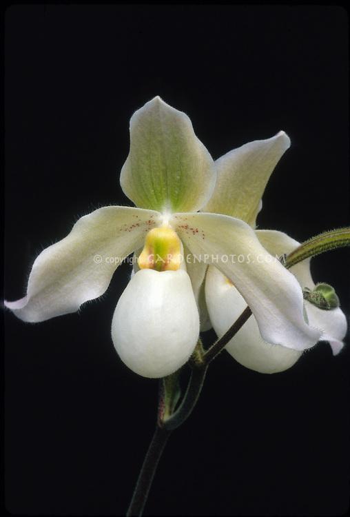Paphiopedilum Deperle, ladyslipper orchid, primary hybrid, Paphiopedilum primulinum x delenatii, 1980
